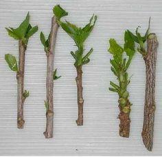 Como plantar estacas (mudas) de Hortênsias - 11 passos
