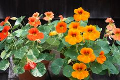There are so many reasons to love nasturtiums!