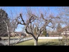How to Prune Old Apple Trees - YouTube