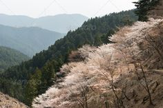 Cherry blossom scenery ...  Oku-Senbon, agriculture, attractive, beautiful, beauty, bloom, blossom, botany, branch, calm, cherry, color, colorful, copyspace, day, flora, floral, flower, fresh, freshness, garden, hill, japan, japanese, landscape, leaf, mountain, nara, natural, nature, petal, pink, plant, plum, pretty, pure, quiet, red, rural, sakura, scene, scenery, season, sky, spring, tree, vivid, white, yoshino