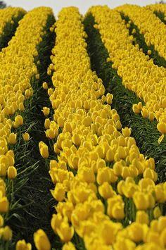 All Rows Lead to the Barn - Skagit Valley Tulip Festival, Washington Best Photos - Community - Google+