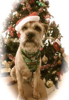 Columbus, OH Border Terrier/Shih Tzu Mix. Meet Lizzie, a