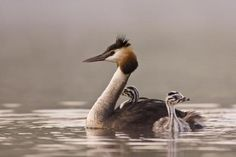 Grebes-- is a member of the Podicipediformes order, a widely distributed order of freshwater diving birds, some of which visit the sea when migrating and in winter. This order contains only a single family, the Podicipedidae, containing 22 species in 6 extant genera.