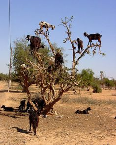 Goats can climb trees? Great! Go ahead and add it to the list of things that keep me up at night!