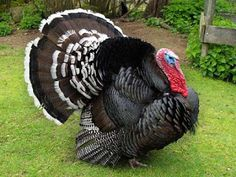 Bronze Turkey Chicken