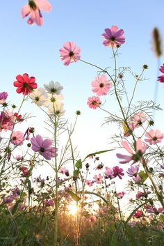 Nature - Cosmos flowers with blue sky. I love these flowers!! We have them in our garden and I always look forward to them!