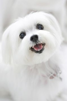 sweet little maltese -too cute!