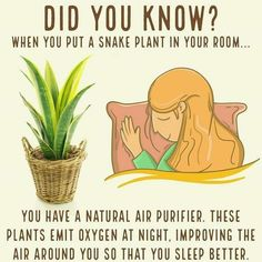 Snake Plant in the bedroom. All plants give off oxygen during photosynthesis whi. Snake Plant in t Health Remedies, Home Remedies, Natural Remedies, Asthma Remedies, Holistic Remedies, Herbal Remedies, Natural Air Purifier, Decoration Plante, Plant Health