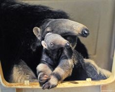 Baby Giant Anteater and Mom at San Francisco Zoo 3 Oddly cute! Baby Zoo Animals, Cute Animals, Giant Anteater, Two Toed Sloth, San Francisco Zoo, Animal Antics, Mothers Love, Beautiful Creatures, Animal Kingdom