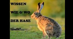 A compilation of some points of distinction between rabbits and hares intended to help you differentiate between the two species. Wildlife, Backyard, Rabbits, Animals, Bunny, Life, Patio, Animales, Animaux