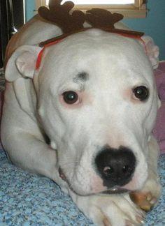 My American Bulldog .... Kai   :)