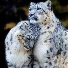 TOP 10 Emotional photos of animals Snow Leopard cuddle, big cats, leopards I Love Cats, Big Cats, Cats And Kittens, Rare Cats, Exotic Cats, Exotic Animals, Ragdoll Kittens, Tabby Cats, Funny Kittens