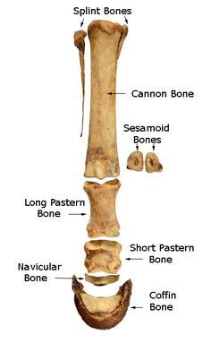 The distal limb bones are the foundation of equine lower leg.  There are nine bones total and each plays a vital role in movement.