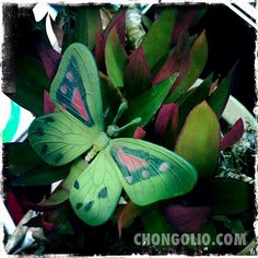 This color butterfly was a nice reminder to transform and ascend gracefully on last week's Photofriday15. which fell on an auspicious, vernal equinoctial, solar ecliptical, super moony first day of spring! #chongolio