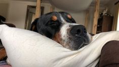 Swiss Mountain Dogs, Animals, Animales, Animaux, Animal, Animais