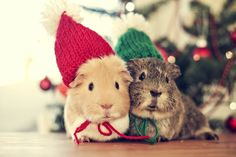 It's a Guinea Pig Christmas! :D