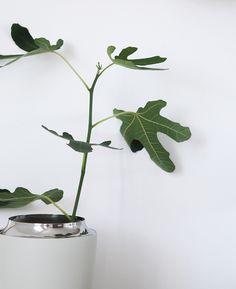 A fresh new start, Moving to Copenhagen. New fig tree Big Move, Big News, Fig Tree, Copenhagen, Indoor Plants, House Plants, Fresh, Babies, Interior