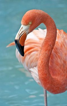 Photograph by Fernando Barozza - Pink Flamingo. Fine Art Prints and Posters for Sale Flamingo pink bird art illustration