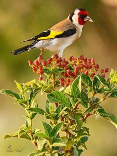 غداء طائر الحسون في الطبيعة