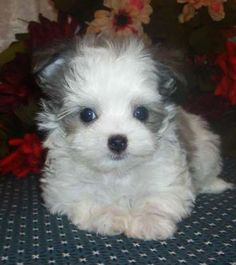 My sweet puppy Bailey, a Maltese and long hair Chihuahua mix