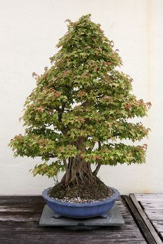 Trident Maple (Acer buergerianum) | Flickr - Photo Sharing! Bonsai Art, Bonsai Plants, Garden Shrubs, Bonsai Garden, Growing Grapes, Growing Tree, Bonsai Meaning, Mini Plantas, Maple Bonsai
