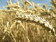 The Big Diabetes Lie - Wheat May Promote Diabetes Through Disturbing Gut Flora ~ RiseEarth - Doctors at the International Council for Truth in Medicine are revealing the truth about diabetes that has been suppressed for over 21 years. Sin Gluten, Gluten Free Diet, Wise Foods, What Is Gluten, Wheat Belly, Gluten Intolerance, Eating Organic, Celiac Disease, How To Slim Down