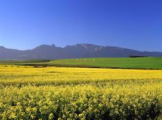 September near Swellendam (canola fields). The South Africa You've Never Seen - SkyscraperCity Port Elizabeth, African Countries, Africa Travel, Cape Town, Places To See, South Africa, The Good Place, Tours, Fields
