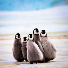 Emperor Chicks, Snow Hill Island Emperor Penguin Rookery, Antarctica