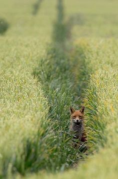 fox in a field