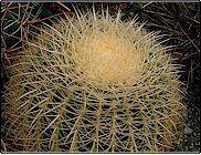 Echinocactus grusonii var. alba   - Pot 12 cm