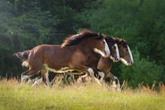 Seeing Triple…Shire horse yearlings in England…Photo by Katarzyna Okrzesik Photographywww.photo-equine.com