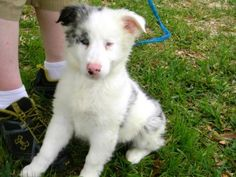 Todd is an adoptable Australian Shepherd Dog in Killeen, TX. Three double Merle Australian Shepherds were dumped in a box outside of a shelter overnight. We have pulled the litter into BDR and they ar...