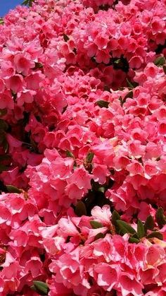 This pink rhododendron bush was positively covered with big beautiful pink blossoms. Beautiful Rose Flowers, Flowers Nature, Exotic Flowers, Pink Flowers, Beautiful Flowers, Flower Images, Flower Pictures, Beautiful Love Pictures, Flower Video