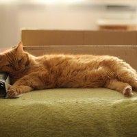 #dogalize Gato domestico: el gato domestico y sus caracteristicas #dogs #cats #pets
