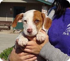 Lathrop, CA - Terrier (Unknown Type, Small) Mix. Meet Richie, a puppy for adoption. http://www.adoptapet.com/pet/14867916-lathrop-california-terrier-unknown-type-small-mix