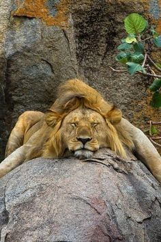 Happy, sleepy lion