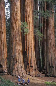 Sequoia National Park, in the southern Sierra Nevada east of Visalia, Tulare, California (David Kjaer/Nature Picture Library)