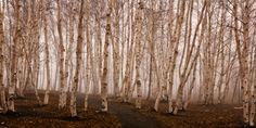 Birch Grove   Ken Bennison's Photography