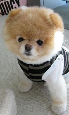 Boo the cutest dog in the world