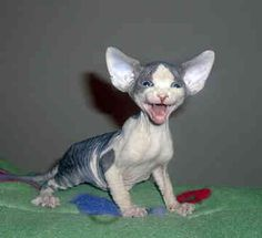 Sphynx Kitty  Maybe someone who has one can explain to me why to have this as a pet....think it would scare me!