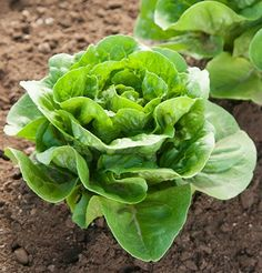 This page gives instructions on how to buy lettuce seeds from David's Garden Seeds. Hydroponic Growing, Hydroponics, Garden Seeds, Planting Seeds, Organic Vegetables, Growing Vegetables, Spring Garden, Lawn And Garden, Indoor Garden