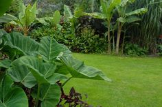 A mixed tropical border - in the background, Musa Sikkimensis (banana) and canna