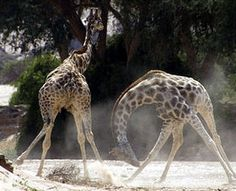 Discovery Channel: Africa   Giraffes in combat