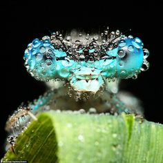 Droplets on a Blue Dragonfly