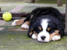 Bernese Mountain Dog puppy - - - - the cutest! Reminds me of our Spooky...always had a ball close by <3