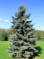 Blue Spruce & Colorado Spruce Tree Seedlings for Sale Blue Spruce Tree, White Spruce, Fruit Trees, Trees To Plant, Windbreak Trees, Popular Tree, Types Of Christmas Trees, Norway Spruce, Tree Sale