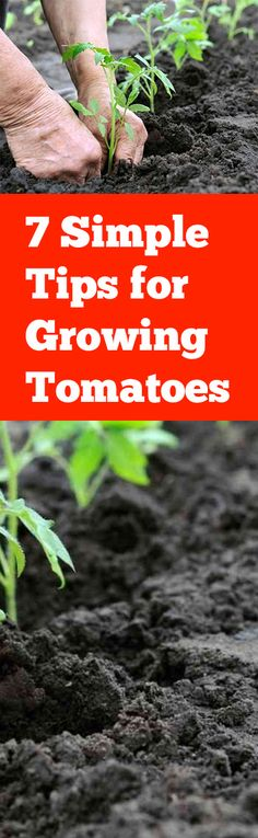 7 Simple Tips for Growing Tomatoes- tips and tricks to help you grow the best tomatoes in your garden.