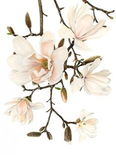 "Anna Mason Art | Magnolia x Loebneri 'Merrill' Botanical print from an original watercolor £95,  12"" x 16"",  Shipped worldwide http://annamasonart.com"