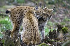 All sizes | The two lynxes showing love II | Flickr - Photo Sharing!