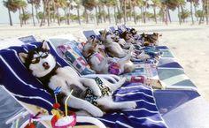 Huskies in sunbath